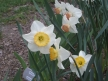 And more of those wonderful daffodils